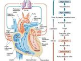 Drawing Of Heart Blood Flow Pin by Nursing and Nclex Mastery On Cardiac Nursing Heart Blood