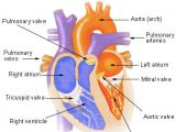 Drawing Of Heart Cancer Seer Training Structure Of the Heart