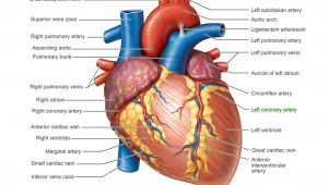 Drawing Of Heart Vessels Pictures Of Human Heart Anatomy Anatomy Of the Human Heart 4k Ultra