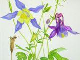 Drawing Of National Flower Columbine Colorado State Flower Botanical Art Pinterest