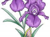 Drawing Of Purple Flowers the Iris Flower is Of Interest as An Example Of the Relation Between