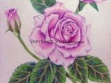 Drawing Of Rose with Colour 51 Best Flowers Images Watercolor Painting Flower Designs Pencil