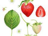 Drawing Of Strawberry Heart Strawberry Anatomy Botanical Illustration by Kendyllhillegas