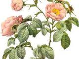 Drawing Of Wild Rose 188 Best Wild Roses Images Vintage Floral Vintage Flowers