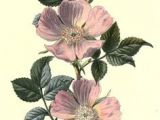 Drawing Of Wild Rose 8 Best Wild Rose Tattoo Images Flower Watercolor Beautiful