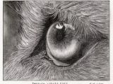 Drawing Of Wolf Eyes Related Image Art Projects Pinterest Drawings