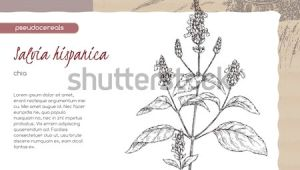 Drawing Vector Fields Salvia Hispanica Aka Chia Sketch Field Stock Vector Royalty Free