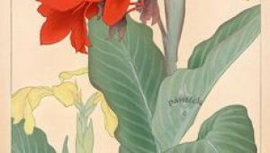 Drawings Of Canna Flowers 111 Best Canna Art Images Flower Art Art Pictures Floral Paintings