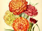 Drawings Of Carnation Flowers 509 Best Carnation Images In 2019 Flower Art Art Floral Art