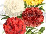 Drawings Of Carnation Flowers Vintage Carnations Clipart High Resolution Printable Artwork