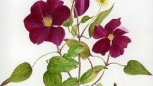 Drawings Of Clematis Flowers 39 Best Clematis Images Botanical Illustration Botanical Art