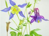 Drawings Of Columbine Flowers Columbine Colorado State Flower Botanical Art Pinterest