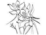 Drawings Of Columbine Flowers Gallery for Columbine Flower Line Drawing Amaryllis Study