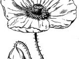 Drawings Of Flowers with Stems 27 Natural Poppy Flower Drawing Helpsite Us
