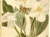 Drawings Of Frangipani Flowers 32 Best Frangipani Illustration Images Botanical Drawings