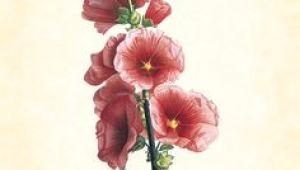 Drawings Of Hollyhock Flower 229 Best Art Hollyhocks Images In 2019 Flower Art Art Flowers