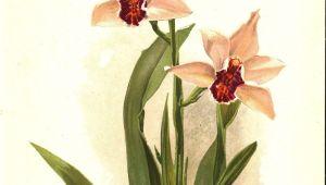 Drawings Of orchid Flower Sander S Cymbidium orchid 1905 Henry Moon Botanical Flower Print