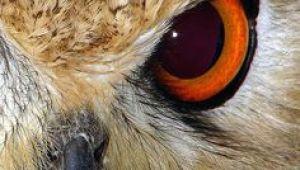 Drawings Of Owl Eyes 14 Best Owl Eyes Images Owls Eyes Barn Owls