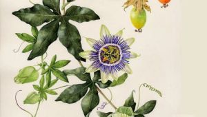 Drawings Of Passion Flowers A A Ae Ae C Aoo Ae E Ao 18ssa E Pinterest Flowersa Passion Flower