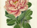 Drawings Of Peonies Flowers Tree Peony Panteek is A Huge Online Gallery Of Antique Botanical