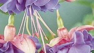 Drawings Of Trailing Flowers 47 Best Hanging or Trailing Plants Images Botanical Drawings