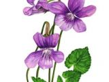 Drawings Of Violets Flowers 140 Best Violet Tattoo Images Violets Violet Tattoo Sweet Violets