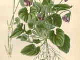 Drawings Of Violets Flowers Blue Violet Ekkor 2018 Egeszseg Pinterest Flowers Botanical
