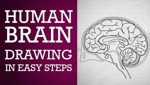 Easy Drawing Class 1 How to Draw Human Brain In Easy Steps Control Coordination