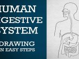 Easy Drawings for Grade 1 Easy Way to Draw Human Digestive System Life Processes Ncert