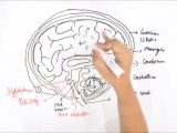 Easy Drawings for Grade 1 How to Draw Human Brain Youtube