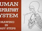 Easy Drawings for Grade 1 How to Draw Human Respiratory System In Easy Steps 10th Biology