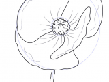 Easy How to Draw A Flower Learn How to Draw Poppy Flower Poppy Step by Step