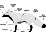 Easy How to Draw A Fox Basic Red Fox Body Animal Drawings Fox Illustration Drawings