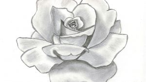 Flowers Drawing Rose with Pencil 68 Best Flower Pencil Drawings Images Botanical Illustration