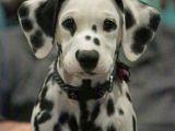 How to Draw A Dalmatian Puppy Easy Beautiful Dalmatian Cute Dogs Cute Animals Cute Puppies
