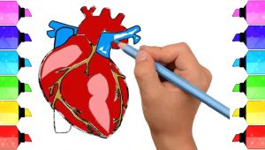 Human Heart Drawing Easy How to Draw Human Heart Anatomy Color Drawing for Kids How
