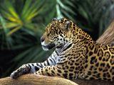 Jaguar Animal Drawing Jaguar Wallpaper Rainforest Animals Jaguar Animal Animals