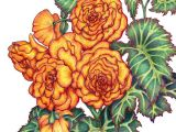 Pencil Drawings Of Flower Gardens Colored Pencil Drawing Of Begonias From A Friend S Garden Ilga S