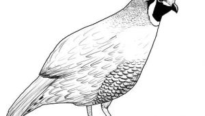 Quail Drawing Easy Pin by Susan Carrell On Bobwhite and Quails Sketches Pinterest