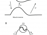 Scientific Drawing Of A Heart Interaction Between the Cardiac Ganglion Cg Neurons and the Heart