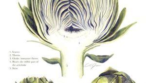 Scientific Drawing Of A Rose Scientific Illustration Artichoke Natural Curiosities Pinterest