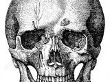 Skull without Jaw Drawing Bony Skeleton Of the Face and the Anterior Part Of the Skull Art