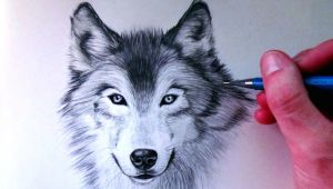 Wolf Drawing Time Lapse How to Draw A Wolf Youtube